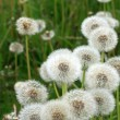 Dandelions — Stock Photo #1905281