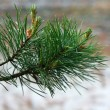 Pine twig — Stock Photo #1908644