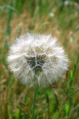 Big dandelion — Stock Photo