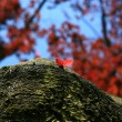 Stock Photo: Red leaflets on trunk of tree