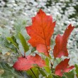 Red oak leaves — Stock Photo