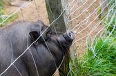 Imprisoned black pig — Stock Photo