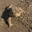 Toad on earth — Stock Photo #1977107