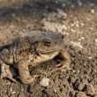 Toad on earth — Stock Photo