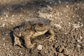 Toad on earth — Foto Stock