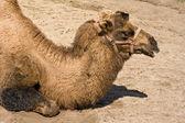 Camel head portrait — Stock Photo