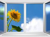 View from the window of sunflower — Stock Photo