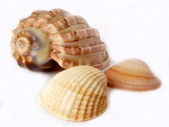 Ocean shells — Stock Photo