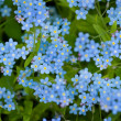 Group of wild forget-me-not flowers — Stock Photo