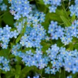 Stock Photo: Group of wild forget-me-not flowers