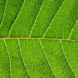 Stock Photo: Leaf detail.
