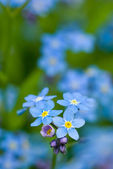 Forget-me-not flowers. — Stock Photo
