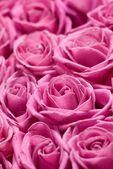 Pink roses. — Stock Photo