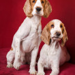 Stock Photo: Curious Cocker Spaniels.