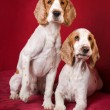 Curious Cocker Spaniels. - Stock Photo