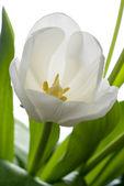 White tulip. — Stock Photo