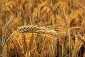 Cereal - Triticale. — Stock Photo