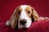 Oplettende cocker spaniel. — Stockfoto
