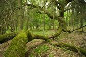 Old oak. — Stock Photo