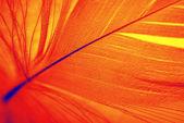 Phoenix feather — Stock Photo