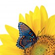Sunflower with blue butterfly — Stock Photo