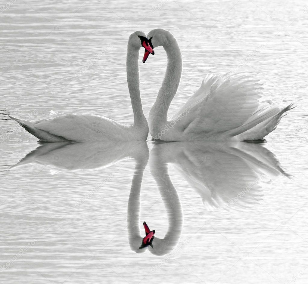 White Swans on the lake — Stock Photo #1846608