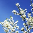 Apple tree flowers on blue sky — Stock Photo
