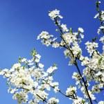 Apple tree flowers on blue sky — Stock Photo
