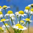 Wild Daisies - Stockfoto