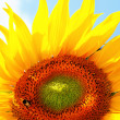 Beautiful yellow Sunflower — Stock Photo #1884310