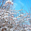 Fruit of wild rose covered with snow - Stock Photo