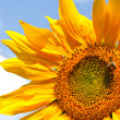 Sunflower — Stock Photo #1885090