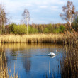 Foto Stock: Lonely swan
