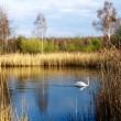 Stock Photo: Lonely swan
