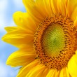 Sunflower on blue sky — Stock Photo #1885704