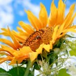 Beautiful sunflower - Stock Photo