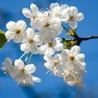Apple blossom on blue sky - Stock Photo