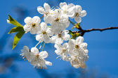 Apple blossom on blue sky — Stock Photo