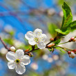 Spring flowers blossom on blue sky — Stock Photo