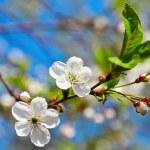 Spring flowers blossom on blue sky — Stock Photo