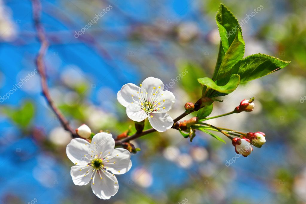 Spring flowers blossom on blue sky — Stock Photo #2033232