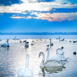 Swan lake - Foto de Stock  