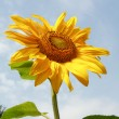 Sunflower with green leaves — Stock Photo