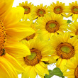 Yellow sunflower background — Stock Photo
