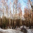 Winter birch woods alley — Stock Photo #2290383
