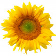 Beautiful yellow sunflower — Stock Photo #2311103