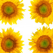 Beautiful sunflower background — 图库照片