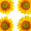 Beautiful sunflower background — Stockfoto