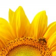 Isolated yellow sunflower — Stock Photo #2529836