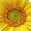 Isolated yellow sunflower — Stock Photo #2529841
